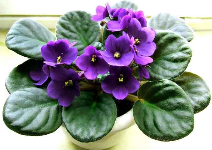домашнее  цветы