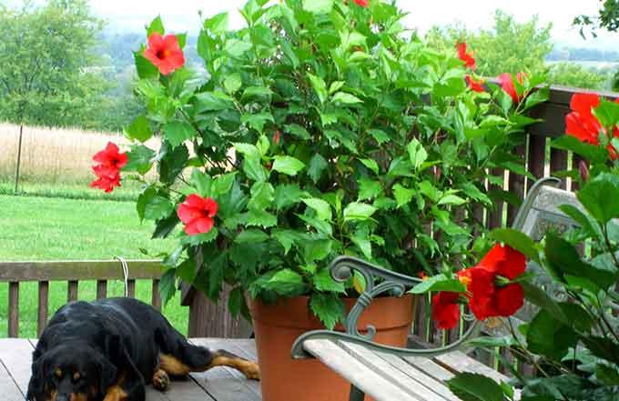 популярные комнатные цветы гибискус