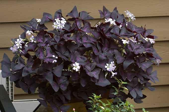 популярные цветы фото оксалис