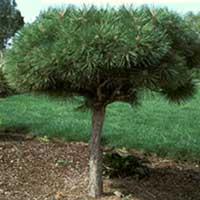 деревья для японского сада