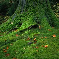мох в японском саду