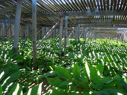 выращивание женьшеня на затемненном участке