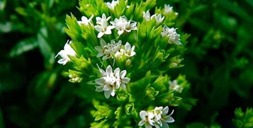 цветение стевии