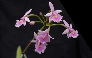 oрхидея эпидендрум
