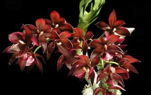 цикнодес орхидея