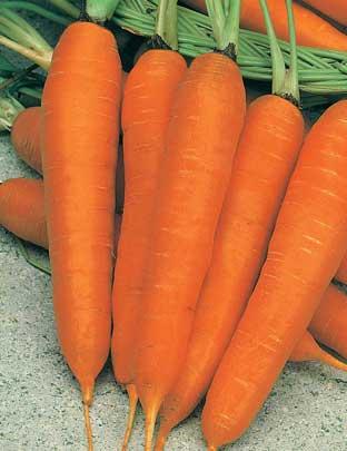 сорт моркови карлена