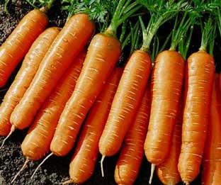 лосиноостровская морковь