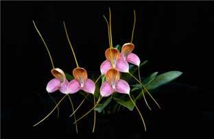 масдеваллия определить вид орхидеи