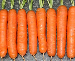сорта моркови нантская 4