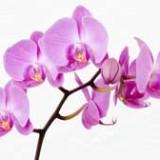 определить вид орхидеи по фото