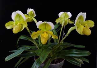 Орхидея пафипедилум
