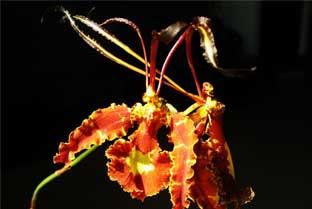Орхидея психопсис