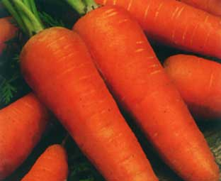 сорт морковь шантане