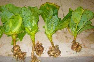 определить тип болезни капусты по фото