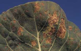 ложная мучнистая роса на капусте
