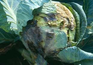 определить вид болезни капусты