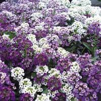 алиссум, теневыносливые  растения