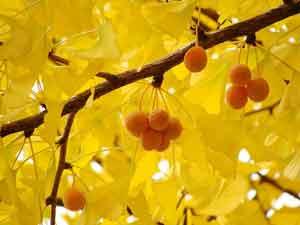 худшие растения для сада билоба