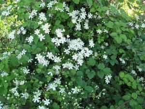 худшие растения для сада клематис
