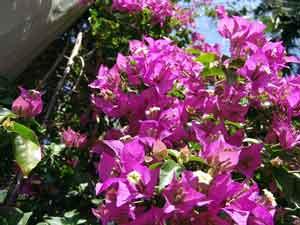 худшие растения для сада лиана