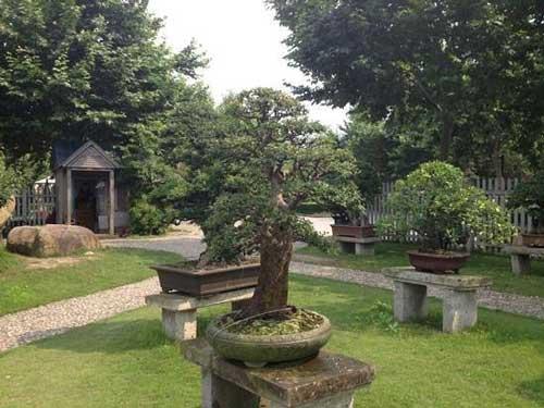 выращивание бонсай на улице в саду