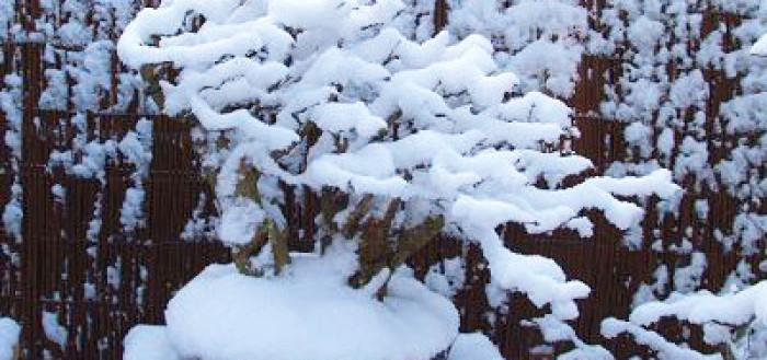 зимовка бонсай под снегом