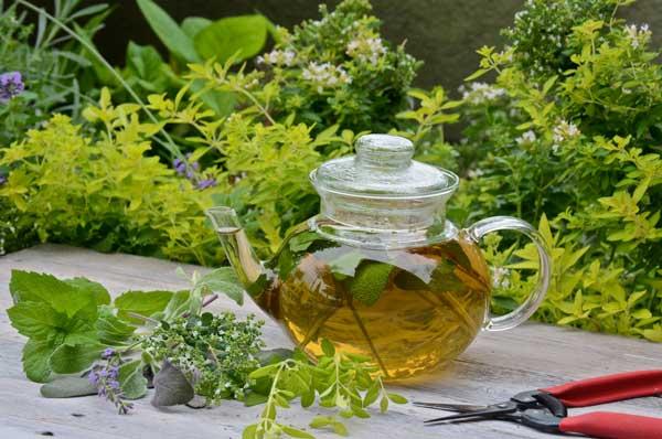 выращивание трав для чая