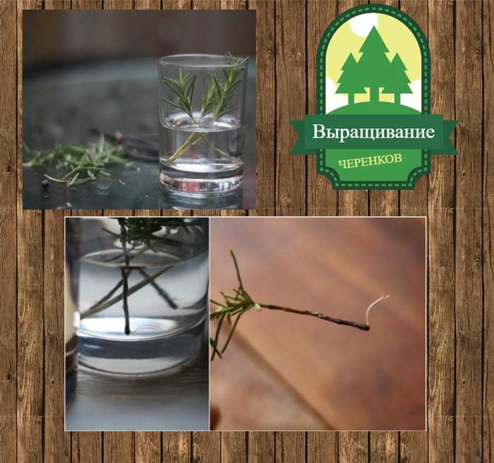 выращивание розмарина из черенков