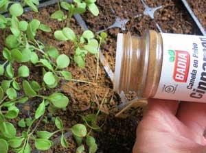 Лайфхак для выращивания рассады. Корица против болезней рассады