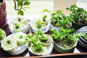 Выращивание овощей из кухонных отходов