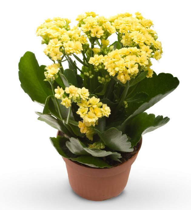 почему не цветет каланхоэ