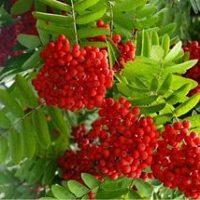 плоды рябины красной
