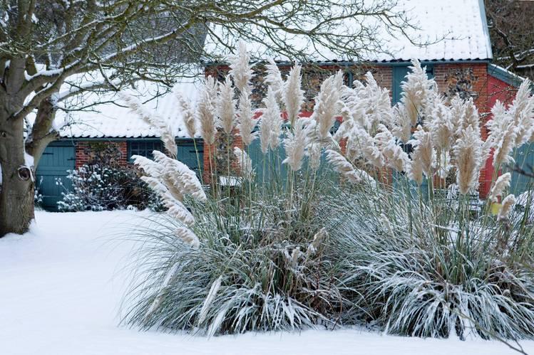 пампасная трава зимой