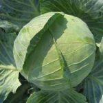 Характеристика сортов капусты - сорт белорусская