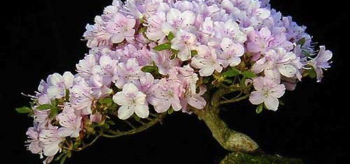 бонсай из азалии, основы ухода за растением