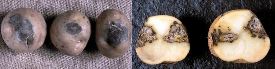 сухая картофельная гниль