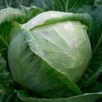 Характеристика сортов капусты - сорт грибовский