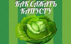 как сажать капусту