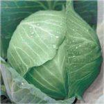 Характеристика сортов капусты - сорт колобок