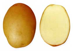 картофель сорта крепыш