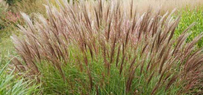мискантум - выращивание и уход