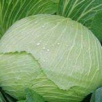Характеристика сортов капусты - сорт слава