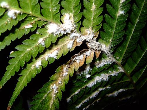 мучнистый червец на листьях папоротника