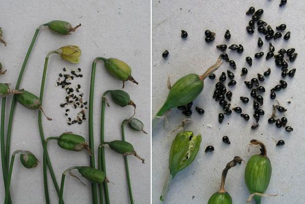 Выращивание нарциссов из семян