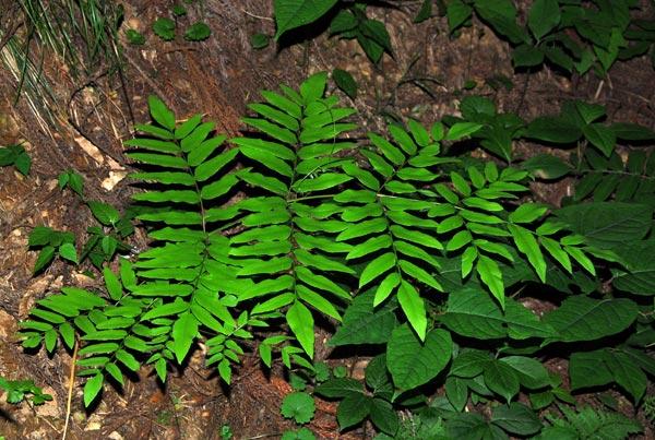 Osmunda-japonica