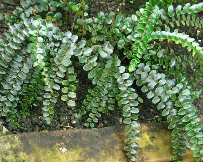 Pellaea-rotundifolia-WS3