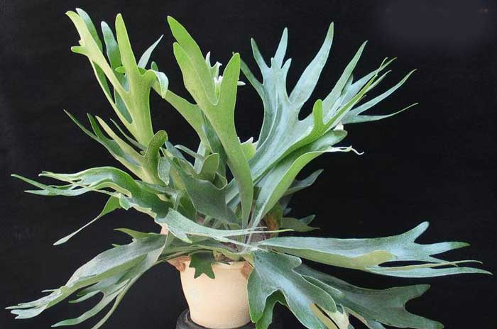 platycerium-bifurcatum