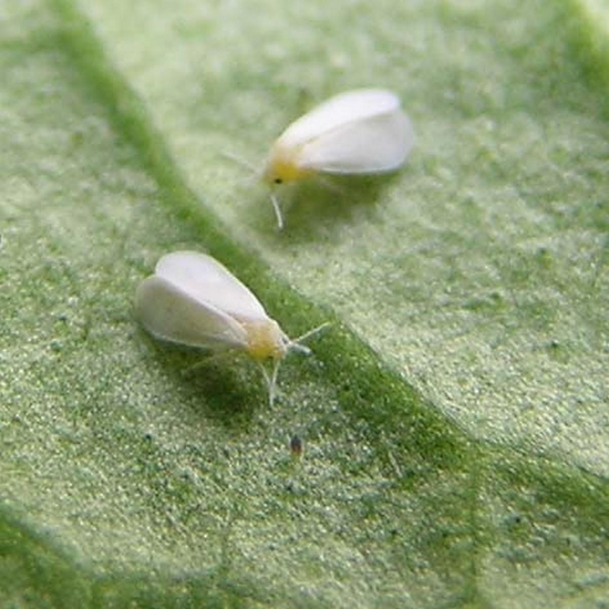вредители папоротников - белокрылка