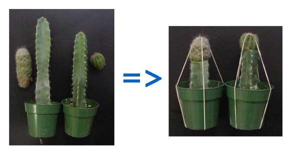 как прививать кактусы