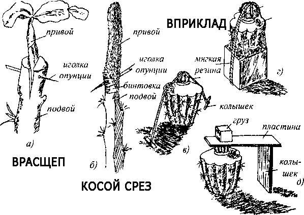 способы прививки кактуса